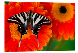 Acrylglas print  Knight butterfly on gerbera - Darrell Gulin