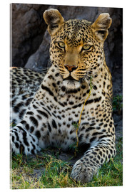 Acrylglas print  Leopard resting in the shade - Sergio Pitamitz