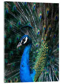 Acrylglas print  Indian Peacock - Andrew Michael