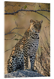 Acrylglas print  Leopard perched on its rock - James Hager