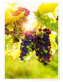 Premium poster Bunch of black grapes on the vine